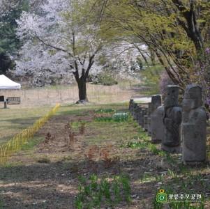 광릉추모공원 벚꽃 향연