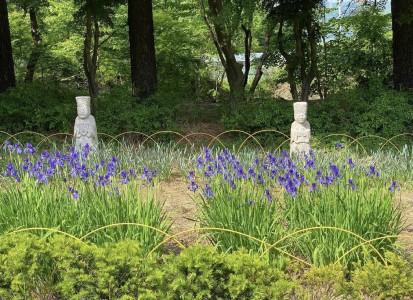 광릉추모공원의 아이리스